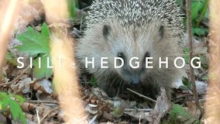 Siili - Hedgehog