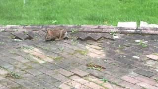 Rabbit Eating Weeds
