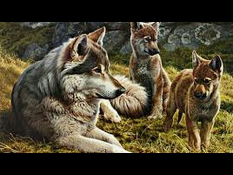 My Wolf Collection (toy wolf) kristina kashytska