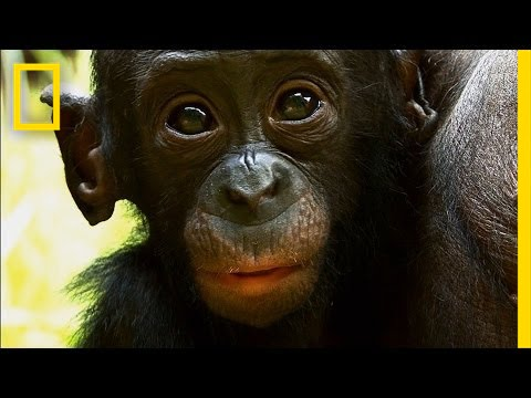 Things You Probably Didn't Know About Cute Bonobos | National Geographic thumbnail