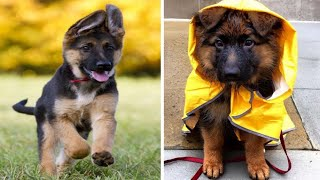Funny And Cute German Shepherd Puppies Compilation #4 - Cutest German Shepherd