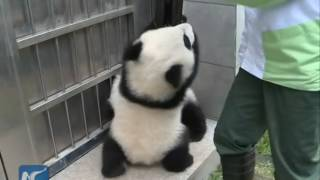 Giant panda twin cubs in S China to meet public soon