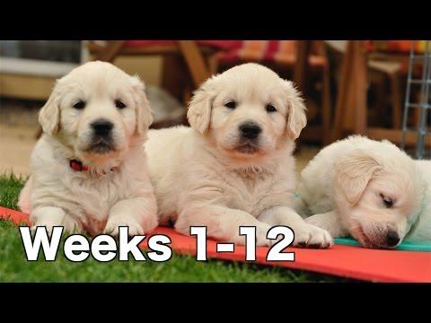 Golden Retriever Puppy Dogs Growing