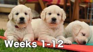 Golden Retriever Puppy Dogs Growing Weeks 1-12