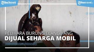 Burung Elang Golden Eagle Asli Republik Ceko Ada di Semarang, Dijual Seharga Mobil