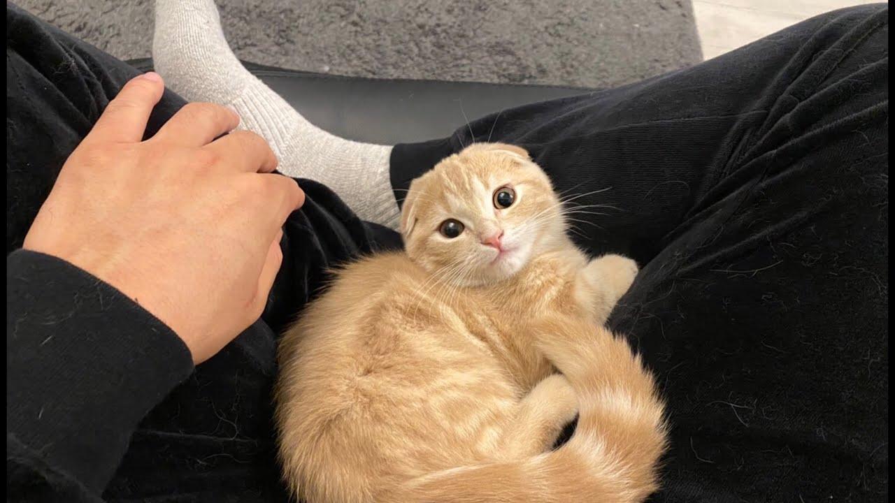 何度も膝の上に戻ってくる子猫がかわいい。【短足マンチカン】