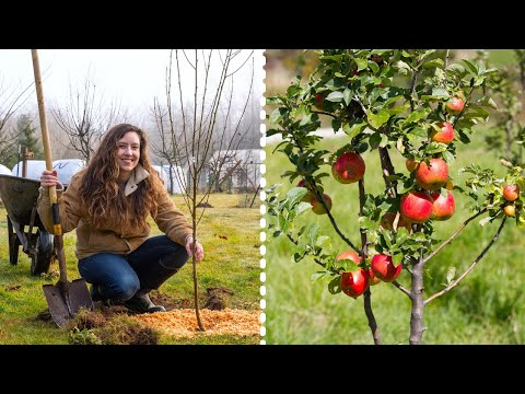 , title : 'How to Plant Fruit Trees for MAXIMUM Growth and Harvest