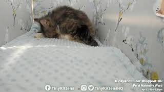 Feral cat Serenity giving birth for the last time - TinyKittens.com