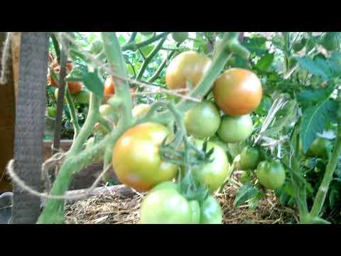Очень урожайный томат. Сибирский скороспелый.  Обзор на 30 июля 2018.