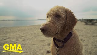 Labradoodle Breeder Says He Created A Monster   GMA