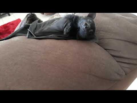 When Your Baby Bat Is So Cute He Can Do Whatever He Wants.