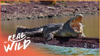 The Predator's Bay [Crocodile Documentary] | Real Wild