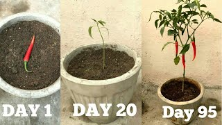 FASTEST METHOD TO GROW CHILLIES AT HOME(Beginning till harvest)