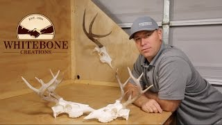 HOW TO CLEAN A WHITETAIL DEER SKULL GRAPHIC