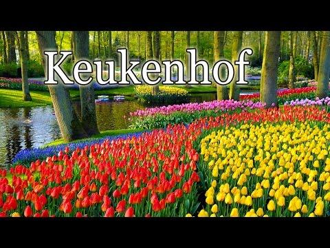 Tulips at the Keukenhof park. Тюльпаны в