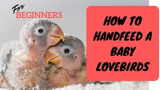 HOW TO HAND FEED A BABY AFRICAN LOVEBIRDS - PINOY VERSION