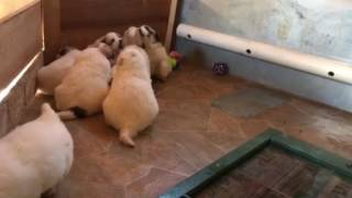 Great Pyrenees Day 25