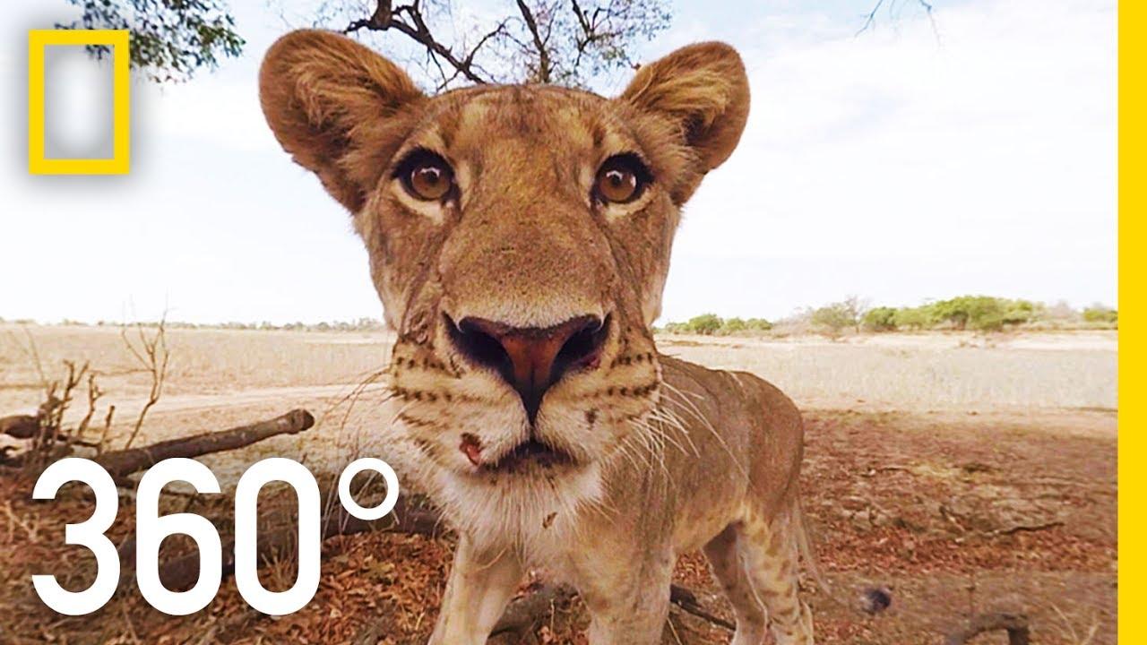 Hacer un safari no está al alcance de todos los bolsillos, con el siguiente vídeo podrás sentir lo que allí se vive sin moverte de tu sofá