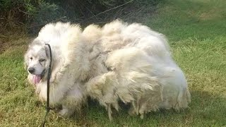 Neglected Dog Covered In 40 Pounds Of Fur For Years Makes Most Amazing Transformation