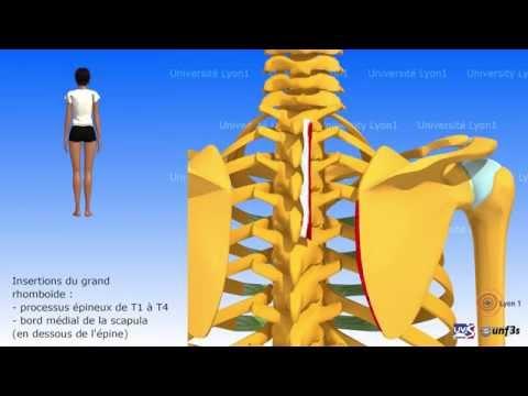 La douleur dans les muscles larticulation humérale le traitement