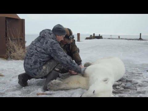 العرب اليوم - شاهد: السيطرة على دب قطبي تقطعت به السبل في روسيا