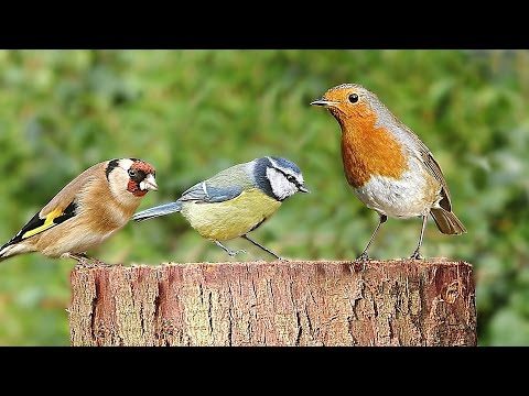 Entertainment Videos for Cats - Birds Chirping on The Garden Log : 8 HOURS