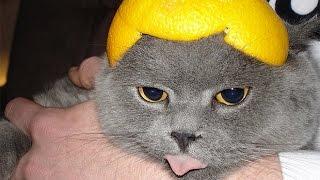 Смешные кошки :)  Часть 242 - ЛЕМОН:))