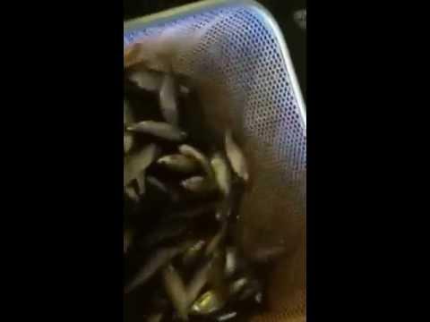 RI Fishing Bait Live Shiners for Freshwater Bass, Pickerel