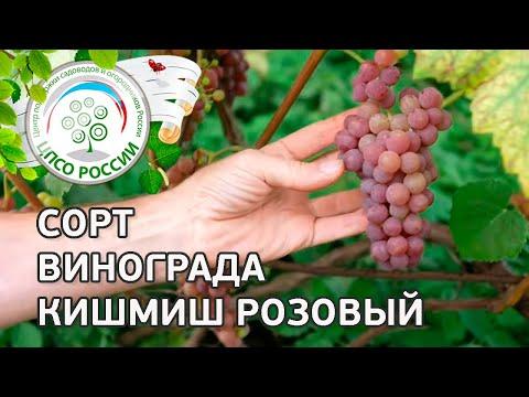 Сорт винограда Кишмиш Розовый. 🍇 Описание сорта винограда Кишмиш Розовый.