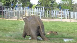 preview picture of video 'Asian elephants at Whipsnade Zoo'
