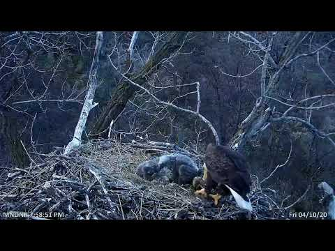 Baby Eagle Attacks Sibling