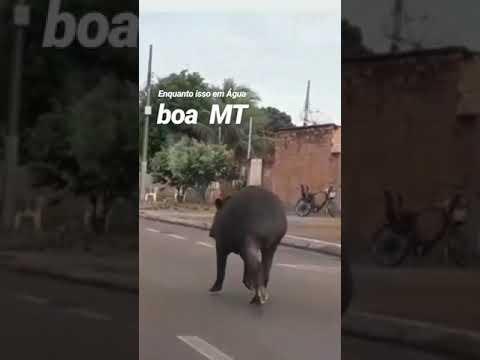 Anta anda pelas ruas de Água Boa em MT