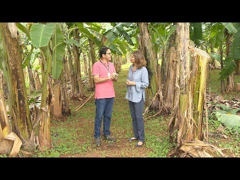 Banana: pesquisa, variedades e manejo