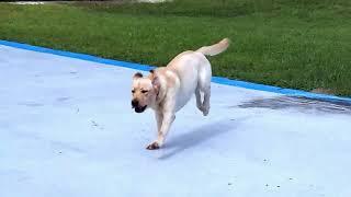 Copy of Copy of Labrador Truffles SLO MO OFF LEASH RECALL DOGTRA REMOTE E COLLAR PAGER