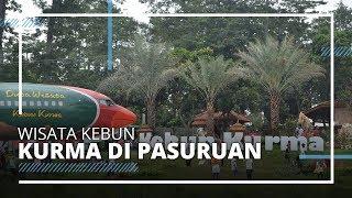 Ada Kebun Kurma di Pasuruan, Refrensi Wisata Menjelang Ramadan