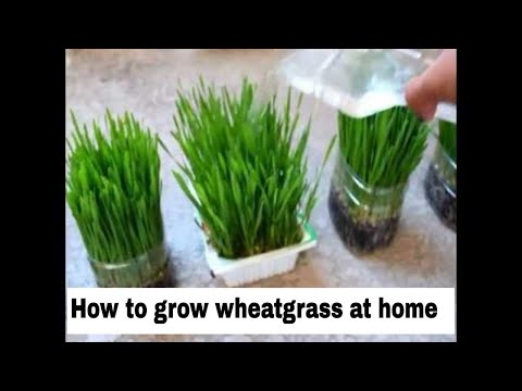 Video how to grow wheatgrass at home