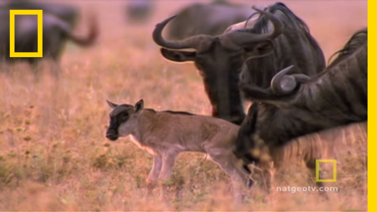 Wild for Wildebeest | National Geographic thumbnail