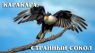 КАРАКАРА: Странный сокол-падальщик, который не любит летать | Интересные факты про птиц и животных