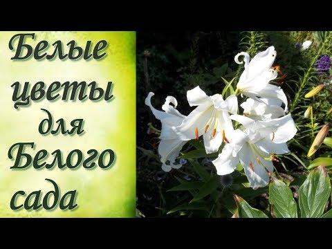 Белые цветы для  белого цветника