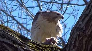 Red-tailed Hawk Enjoys Squirrel