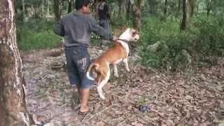 preview picture of video 'Buru babi hutan Dumai 2011'