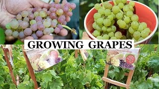 Two Year Grapes – How To Grow Grapes In Your Garden