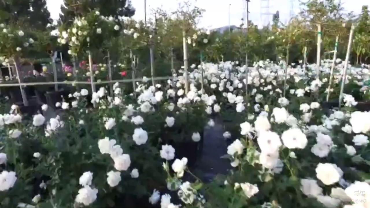 Iceberg Rose 5 Gal (White Rose)