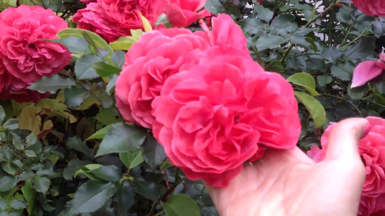 Розариум Ютерсен вторая волна цветения- обильный, неприхотливый и морозостойкий сорт/сентябрь 2019г