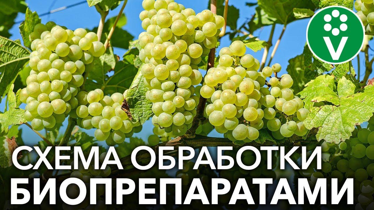 Как спасти виноград от мучнистой росы? СХЕМА ОБРАБОТКИ ВИНОГРАДА ОТ А ДО Я БИОПРЕПАРАТАМИ!