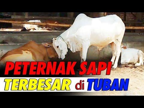 Peternakan Sapi Lokal Terbesar di Tuban, Jawa Timur