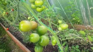 Краснеют экспериментальные томаты в теплице ✔томаты из Китая