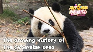 The Growing History Of The Cyberstar Oreo | iPanda