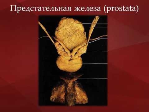 Трузи предстательной железы в брянске
