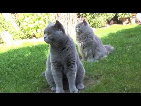 Samson und Reika- BKH Katzen aus dem Bilderbuch